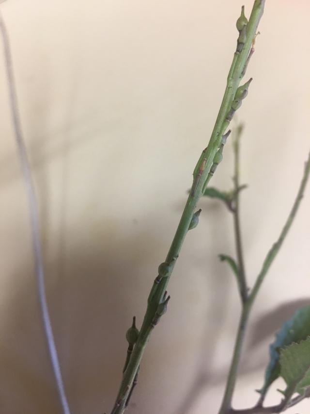 "Bastard cabbage seed pod ""beaks"""